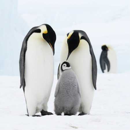In search of the Emperor Penguin