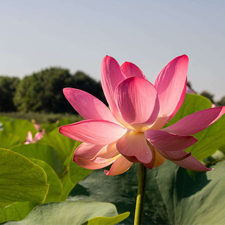 In the lotus valley
