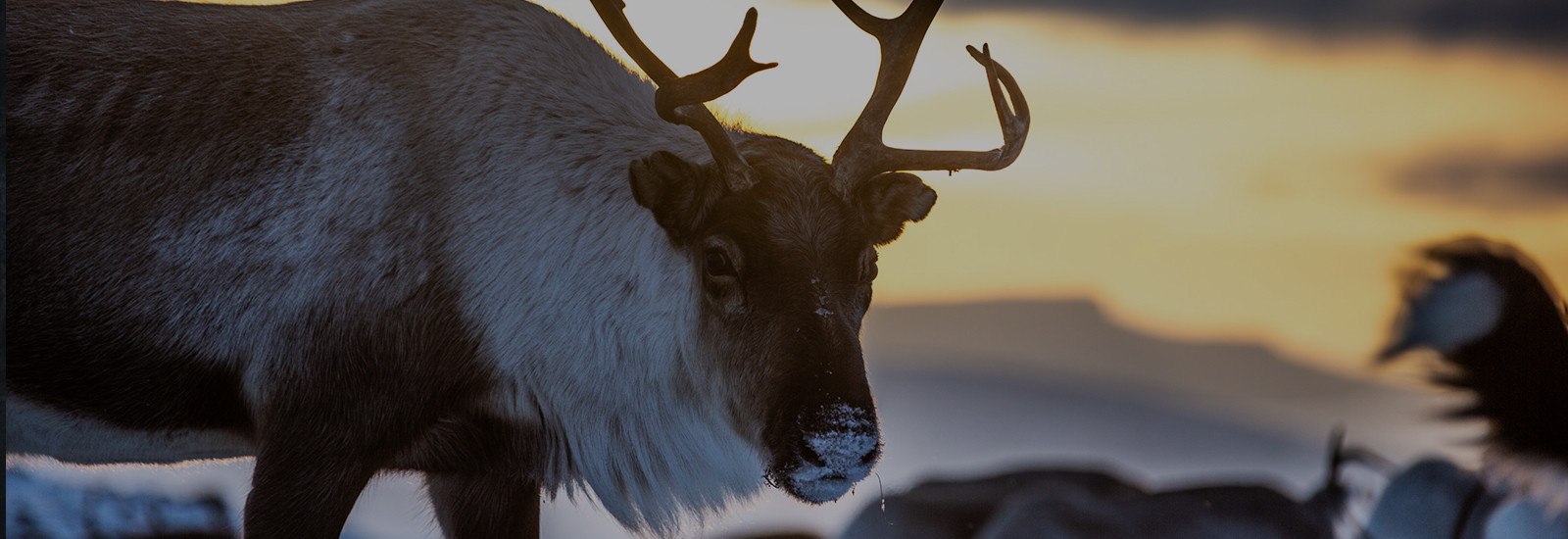 The land of reindeers